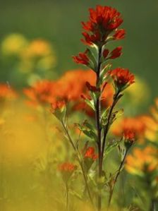 Wild Indian Paintbrush